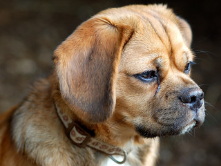 Puggle puppy | by DWoltereckPhotography