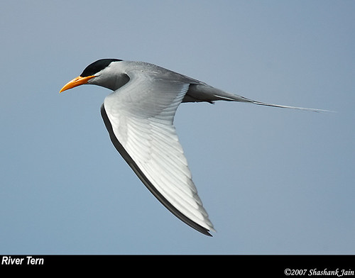 River Tern | by The World Through My Eye