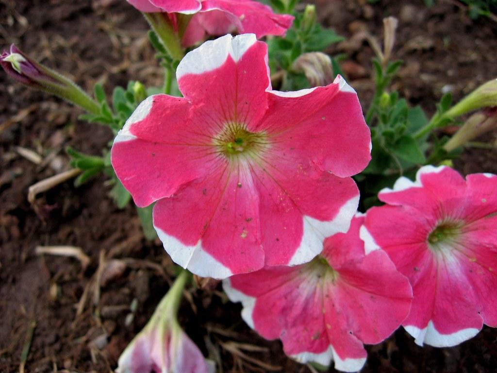 Garden Petunia   Common name: Petunia, Garden Petunia ...