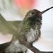 Beija- flor - Hummingbird 2 247 - 9