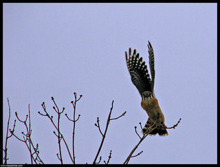 On Take Off - American Kestrel | by emace