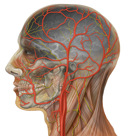 Human head anatomy with external and internal carotid arteries | by Patrick J. Lynch