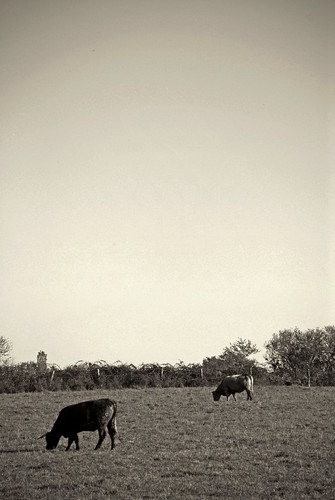 N&B Cows | by LemimPix