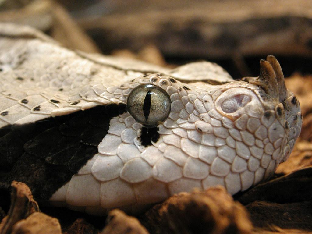 Gaboon viper | Bitis gabonica Native to the western ...