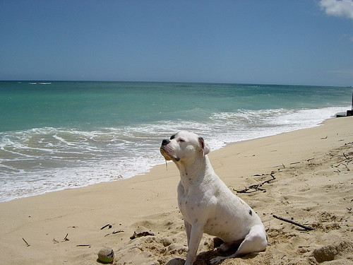 Sandy Strider at Ewa Beach - American Bulldog | by willtooke