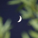 Moon crescent through the green leaves