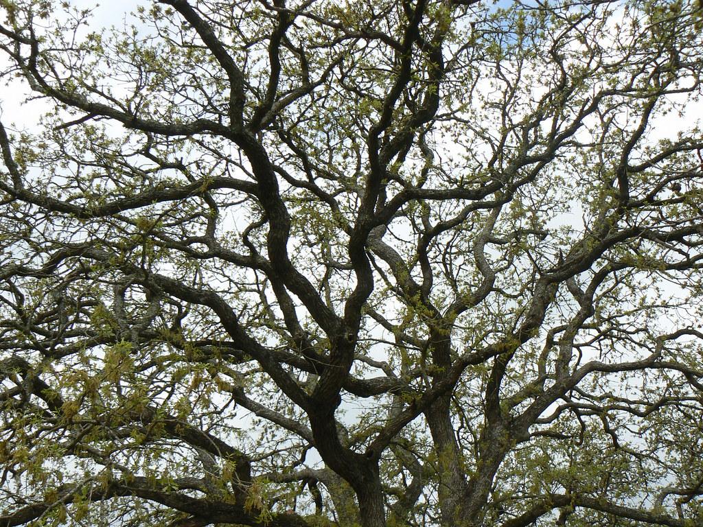 Oak Canopy The Canopy Of An Oak Tree Near Austin Texas
