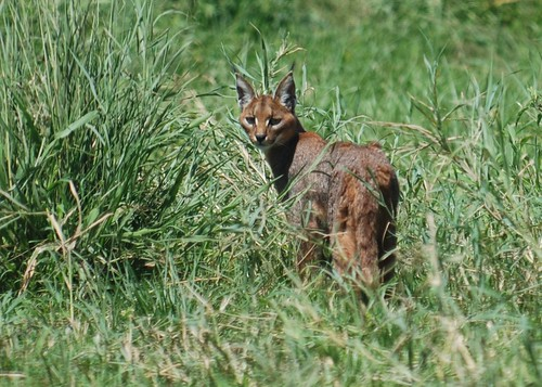 Caracal Cat | by t i g