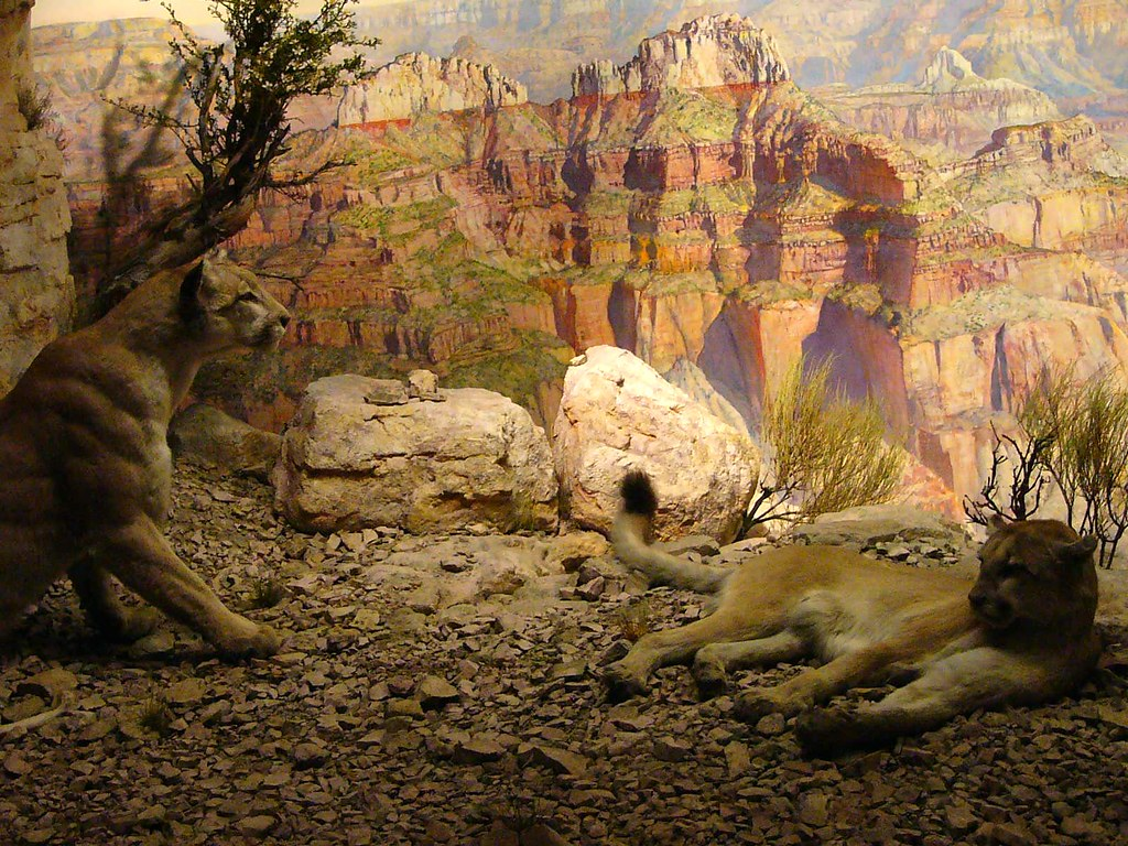 Mountain Lion   Puma Concolor. Grand Canyon, Arizona ...   1024 x 768 jpeg 289kB