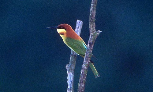 Chestnut-headed Bee-eater | by Pia's birdseye view