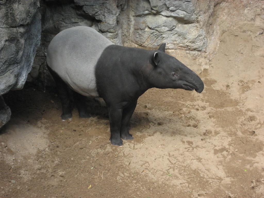 NYC - Bronx - Bronx Zoo: Jungle World - Malayan Tapir | Flickr