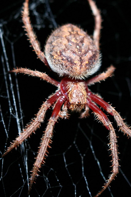 Big scary spider | I've just done some searching - it's ...