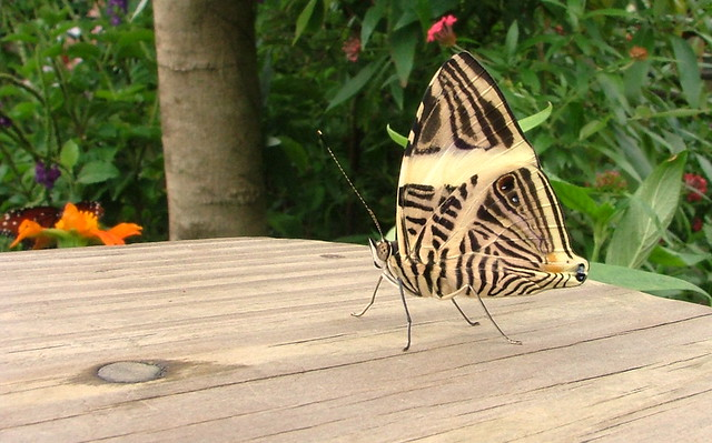 Natural Musem Of History Uf Butterfly
