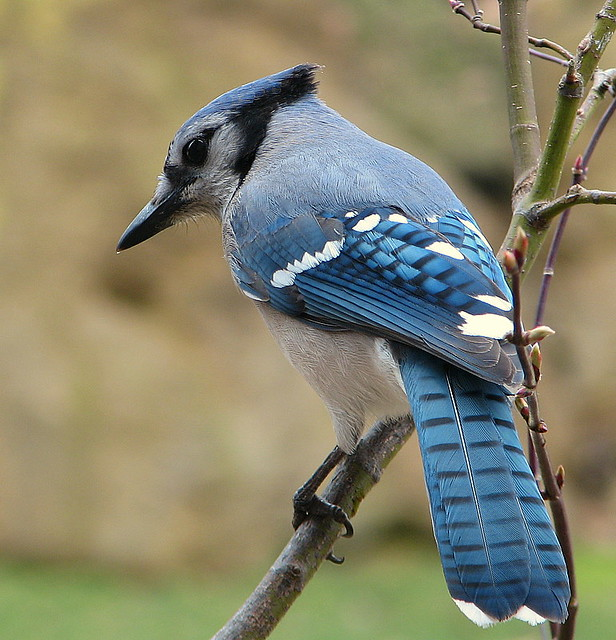 This Blue Jay Was On The Flickr Blog Page
