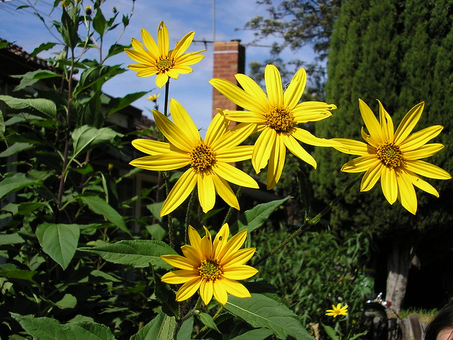 Jerusalem artichokes - perennial windbreak. Photo shows yellow artichoke flowers growing in a suburban backyard