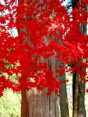 Chinese maple - RED | by Stanley Zimny (Thank You for 22 Million views)