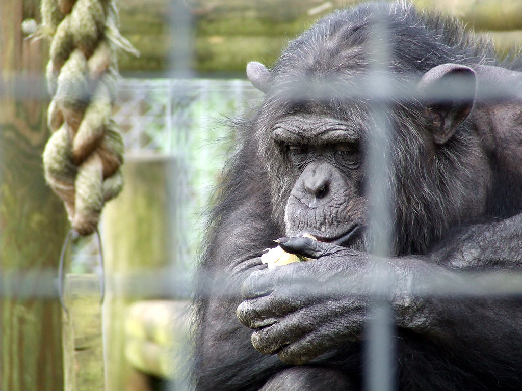 Image result for chimps in animal research