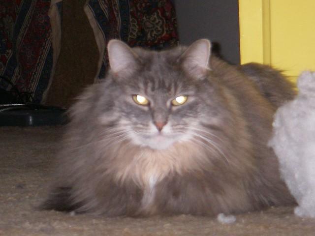 fluffy light gray cat - photo #14