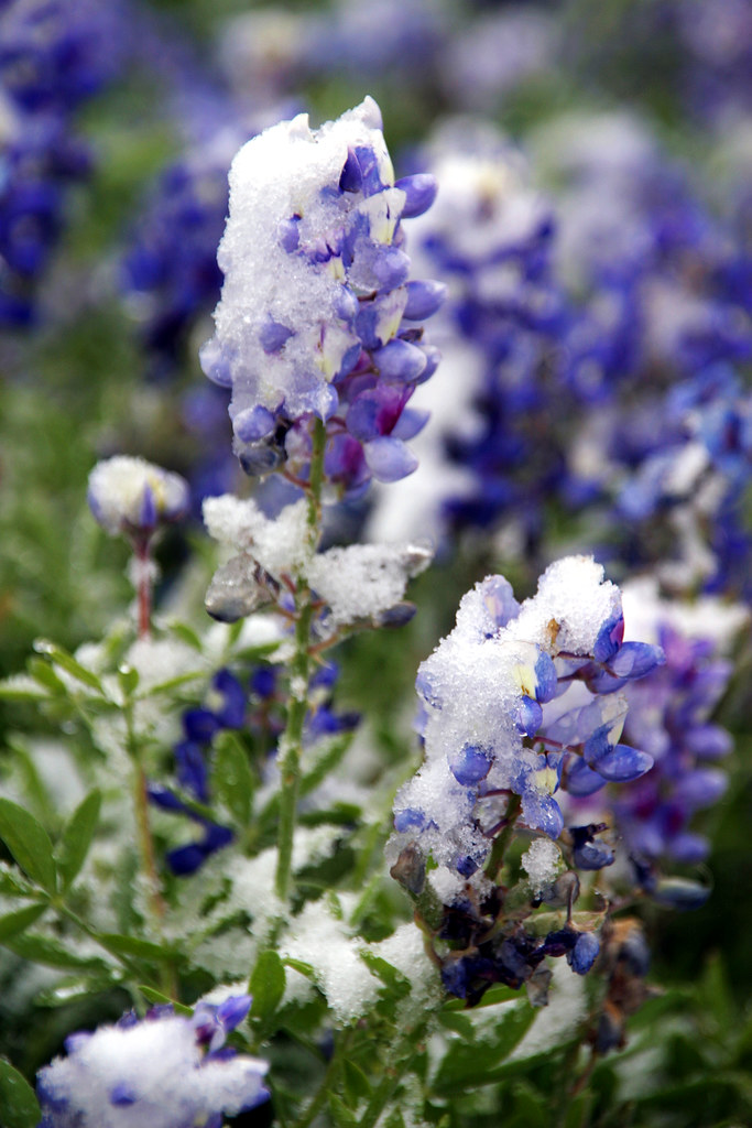Snow On The Bluebonnets