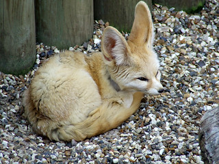 Fennec Fox @ Africa Alive, Lowestoft | by timparkinson