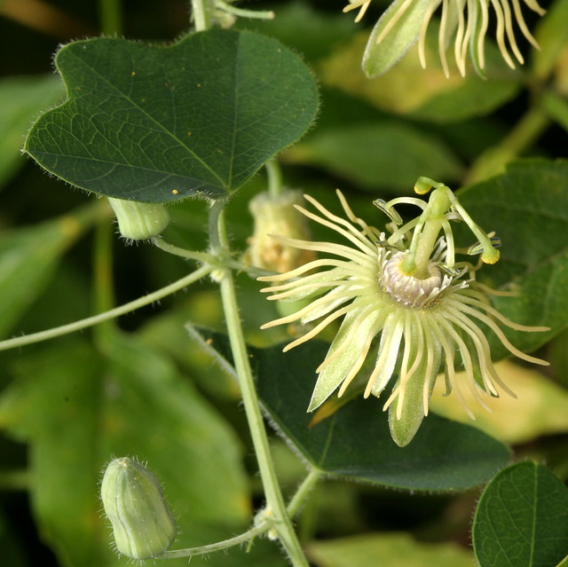 Yellow Passionflower Flowers And Foliage This Is One Of