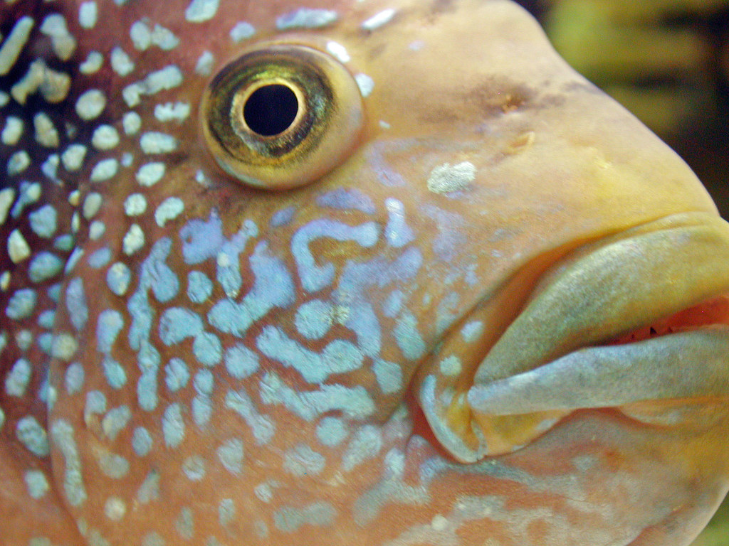 Jack Dempsey Fish Teeth