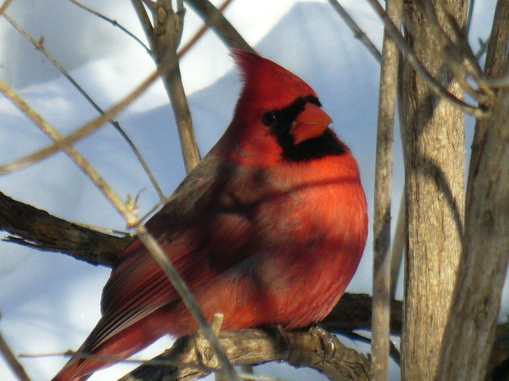 Red cardinal cardinalis cardinalis i was lucky to get th flickr red cardinal cardinalis cardinalis by naturefreak07 buycottarizona