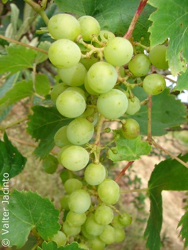 Cacho de Uvas // Bunch Of Wine Grapes (Vitis vinifera) | by Valter Jacinto | Portugal