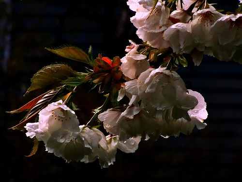 Flowering Cherry | by Boyds Gallery