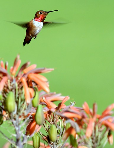 Hummingbird the Green | by Danny Perez Photography