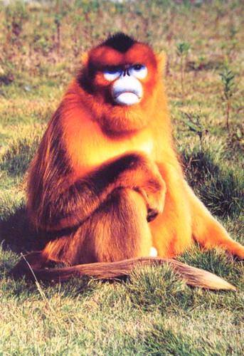 Favorite fist of golden monkey zarpada sabe