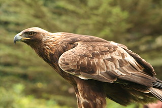 Female Golden Eagle at SF zoo | by raqui09