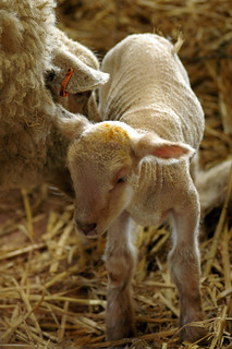 Newborn lamb | by Daveybot