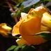 Yellow Rose Side