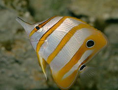 copperband butterflyfish, IMG_3127x4c | by xinmincat