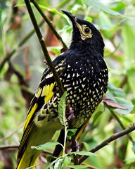 Regent Honeyeater | by Timmy Toucan