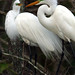 Egrets trying to build a nest.
