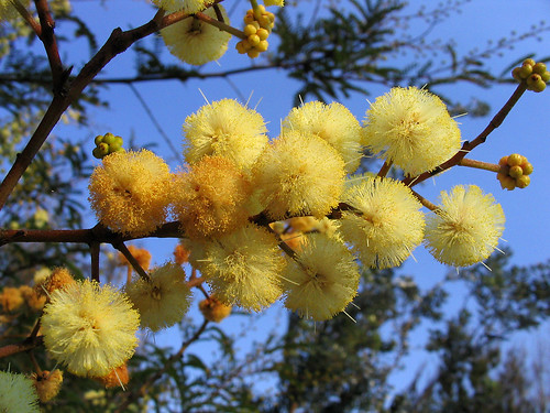 wattle | by _wintermute