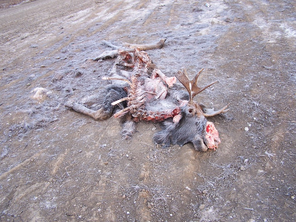 dead moose just of highway colour
