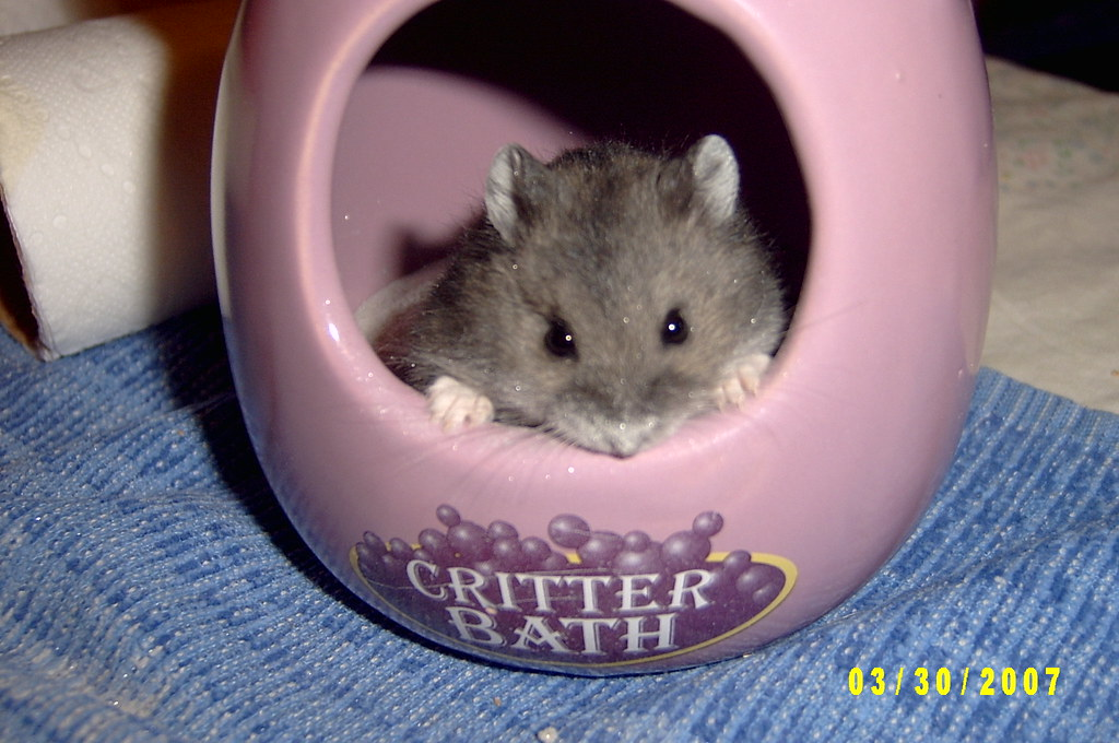 Baby Dwarf Hamster Chuck with Dusty Nose and Whiskers | Flickr