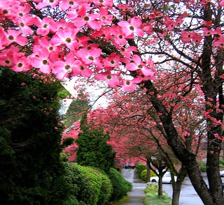 dogwood trees | by Hulya in Portland
