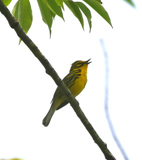 "Prairie Warbler by Scott Evans | by Scott ""Burns"" Evans"