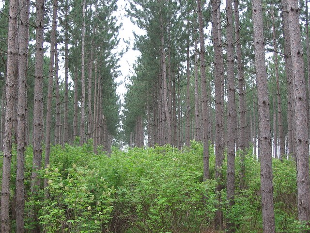 Understory Shrub Layer In Thinned Red Pine Mora Mn Flickr