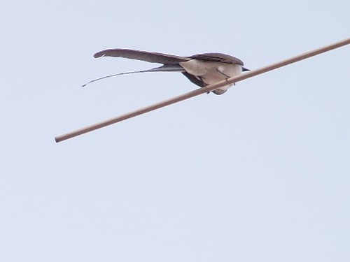tesourinha/fork-tailed palm-swift | by Márcia_Marton