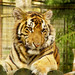 Young tiger posing