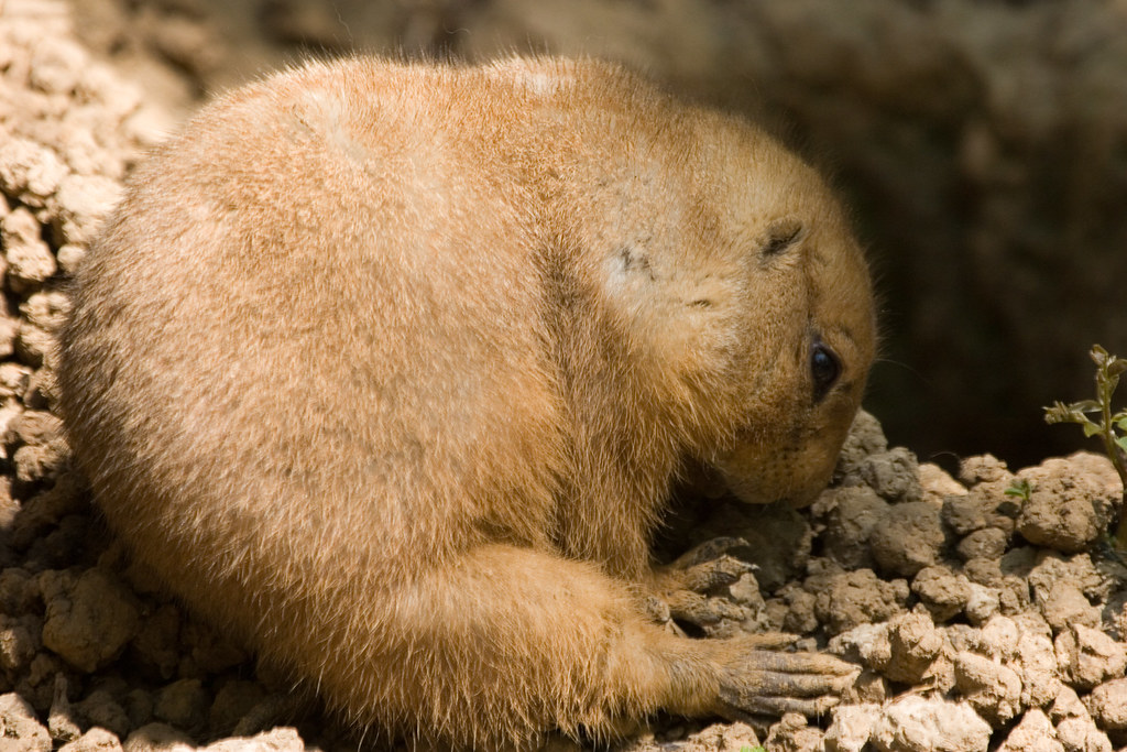 Black Tailed Prairie Dog Buried Alive
