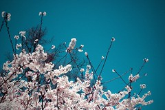cherryblossoms | by amalia chimera