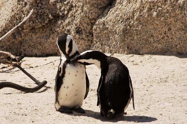 Boulder Beach Penguins Best Time