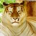 Golden tiger relaxing