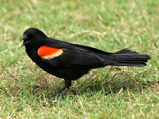 Red-winged Blackbird | by hart_curt